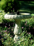 Blackbird  Bathing in Birdbath  UK