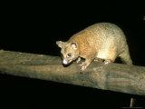 Coppery Brushtail Possum  Queensland  Australia
