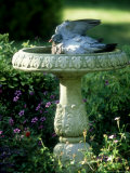Wood Pigeon in Birdbath  UK