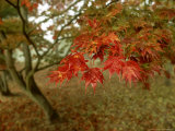 Japanese Maple  Leaves  Sussex  UK