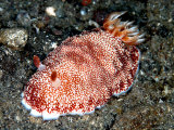 Chromodoris Reticulata  Indonesia