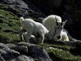 Wild Goats  Boulder