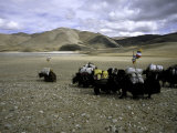 Yaks  Tibet