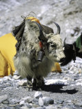 Yak in Tibet
