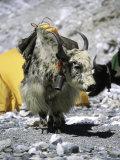 Yak in Tibet