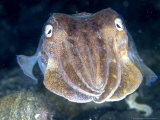 Cuttlefish  Portrait  UK