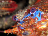 Squat Lobster  Portrait  UK