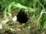 Blackbird  with Worm  UK