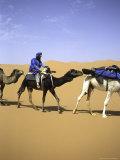 Camels in Desert  Morocco