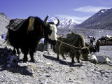 Yaks at the Base Camp of the Everest North Side  Tibet