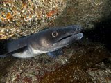 Conger Eel  Emerging from Rock Crevice  UK