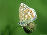 Common Blue in Early Morning Dew  UK