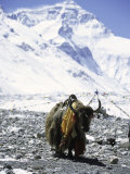 Lone Yak