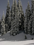 Snowy Trees in Washington  USA