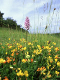 Common Birds-Foot Trefoil  Flowers  UK