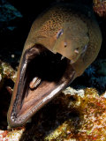 Moray Eel  St Johns Reef  Red Sea