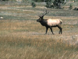 An Elk in the Grassland in Colorado