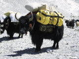 A Sponsered Yak  Nepal