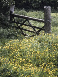 Buttercups and Hawthorn