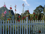 Flowers Growing Over a Picket Fence in Front of a House
