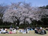 People Partying Under Cherry Blossoms  Shinjuku Park  Shinjuku  Tokyo  Honshu  Japan