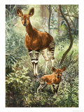 Okapis of the Congo