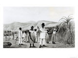 Negroes Cutting Sugar Cane on a Jamaican Plantation  1825