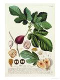 Fig  Engraved by Johann Jakob Haid