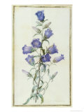 Campanula: Medium