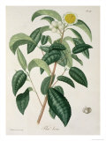 Camellia Thea from Phytographie Medicale by Joseph Roques