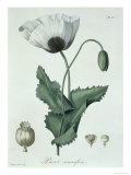 Papaver Somniferum from Phytographie Medicale by Joseph Roques