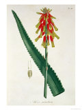 Aloe from Phytographie Medicale by Joseph Roques