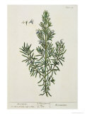 Rosmarinus Officinalis  from 'A Curious Herbal'  1782