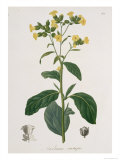 Nicotiana from Phytographie Medicale by Joseph Roques