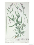 Lavender Spike  Plate from Herbarium Blackwellianum by the Artist  1757