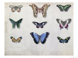 Butterflies from Brazil and Guyana  Mid 19th Century