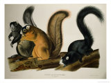 Fox Squirrel  from Quadrupeds of America  1845