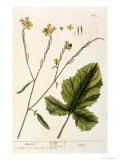 Mustard  Plate 446 from A Curious Herbal  Published 1782