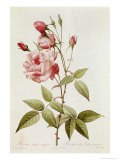Rosa Indica Vulgaris  from Les Roses by Claude Antoine Thory