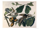 Yellow-Billed Cuckoo  from Birds of America  Engraved by William Home Lizars
