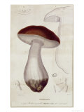 Boletus Edulis  Illustration For an Edition of Traite Des Champignons by Jean Jacques Paulet