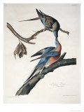 Passenger Pigeon  from Birds of America  Engraved by Robert Havell