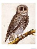 Owl  from Histoire Naturelle Des Oiseaux by Georges de Buffon