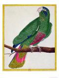 Parrot  from Histoire Naturelle Des Oiseaux by Georges de Buffon