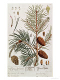 Pine Tree  from A Curious Herbal  Published in Nuremburg in 1757