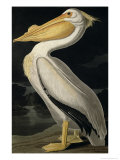 American White Pelican  from Birds of America  Engraved by Robert Havell
