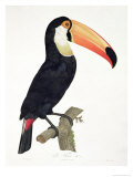 Toucan No2  History of the Birds of Paradise by Francois Levaillant  Engraved by JL Peree
