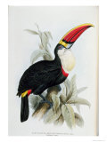 Red-Billed Toucan  from A Monograph of the Ramphastidae  or Family of Toucans  by John Gould