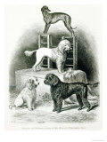 Poodles and Whippet - Group of Mr Walton's Performing Dogs