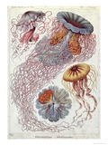 Jellyfish  from Kunstformen Der Natur  1874